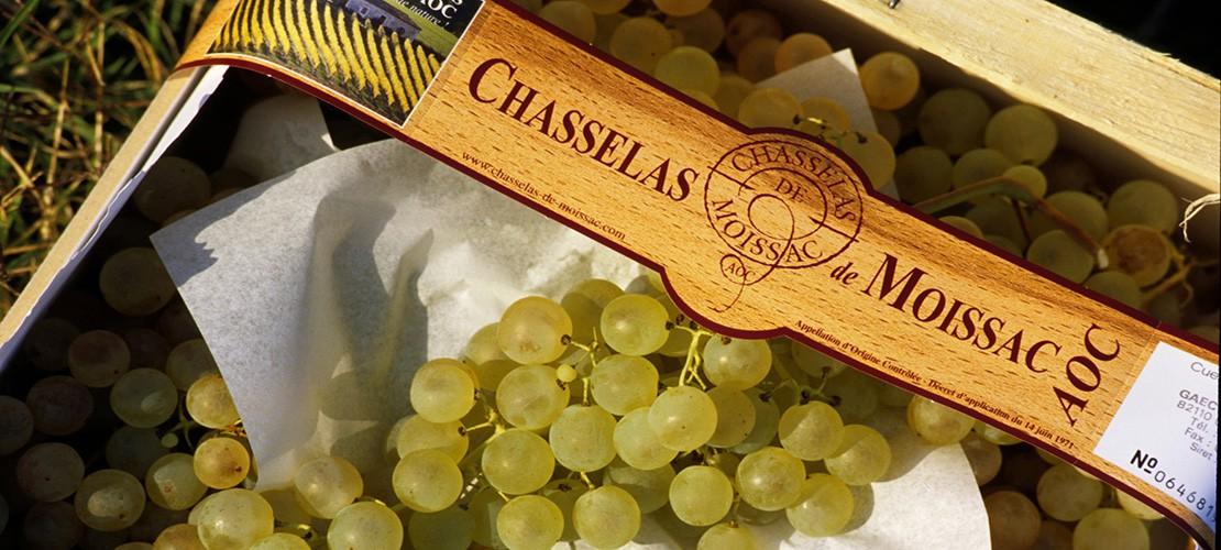 Chasselas de Moissac: le grain d'or du Sud-Ouest
