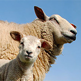 agneau-pauillac