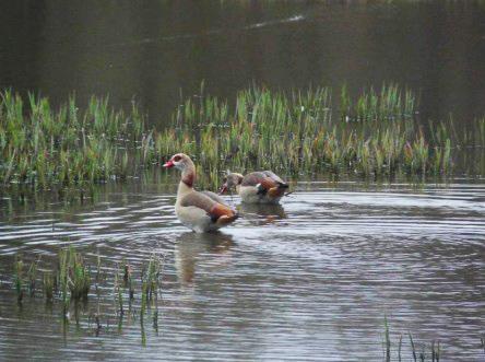 Couple d'ouettes d'Egypte - Crédit photo: RNN des marais de Bruges