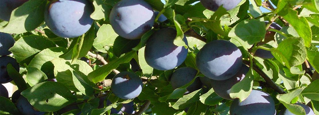 Après un passage dans le tunnel à séchage, les prunes d'Ente donneront naissance au pruneau d'Agen.