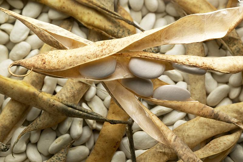 Le haricot tarbais, ingrédient indispensable de la garbure