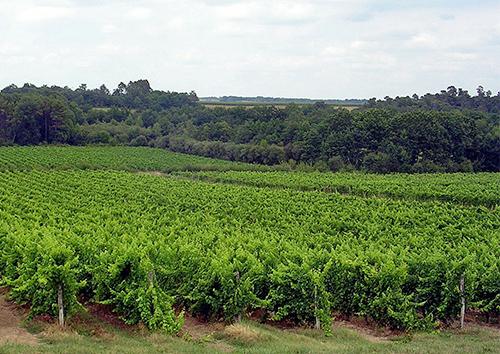 Vignoble d'Armagnac, entre Landes et Gers.