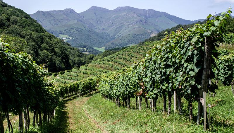 La vigne plantée en terrasse, au regard du terrain légèrement accidenté - Crédit photo : sylvie krinbarg - Flickr