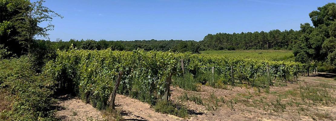 Vignaoble du vin de sable dans les Landes